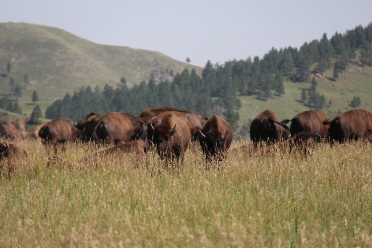 Where the Buffalo roam...